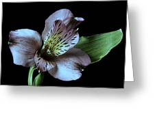 Pouvian Lilly On Black Greeting Card by M K  Miller