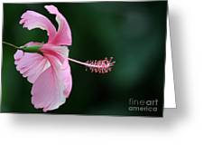 Pretty Pink Hibiscus Greeting Card by Sabrina L Ryan