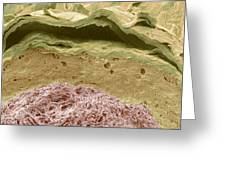 Primate Ear Canal, Sem Greeting Card by Steve Gschmeissner