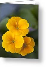 Primrose (primula Polyanthus) Greeting Card by Maria Mosolova