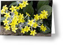 Primula Verticillata Flowers Greeting Card by Bob Gibbons