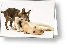 Pup Biting Lab On The Ear Greeting Card by Mark Taylor
