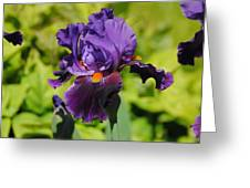 Purple And Orange Iris Flower Greeting Card by Jai Johnson