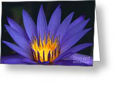 Purple And Yellow Water Lily Greeting Card by Sabrina L Ryan