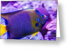 Quenn Angelfish Greeting Card by Scotts Scapes