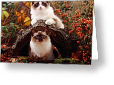 Ragdoll Kitten And Birman Kitten Greeting Card by Jane Burton