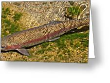Rainbow Trout Greeting Card by Nick Kloepping