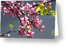 Red Bud In Blooms Greeting Card by Alfred Ng