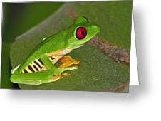 Red-eyed Leaf Frog Greeting Card by Tony Beck