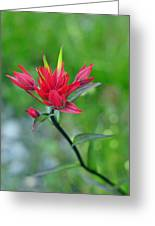 Red Indian Paintbrush Greeting Card by Lisa Phillips