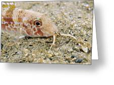 Red Mullet Fish Greeting Card by Alexis Rosenfeld