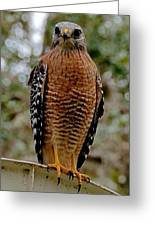 Red Shouldered Hawk Greeting Card by John Black