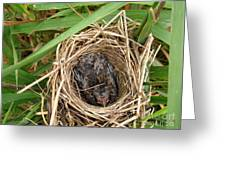 Red-winged Blackbird Baby In Nest Greeting Card by J McCombie