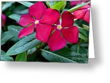 Red Woodland Phlox Flowers Greeting Card by Eva Thomas