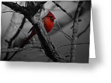 Redbird Greeting Card by Shawn Wood