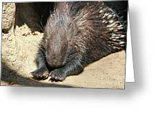 Resting Porcupine Greeting Card by Mariola Bitner