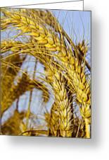 Ripe Barley Greeting Card by Daniel Blatt
