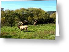 Roaming Elk  Greeting Card by The Kepharts
