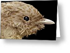 Robin Chick, Sem Greeting Card by Steve Gschmeissner