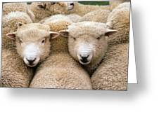 Romney Sheep Greeting Card by Gregory G Dimijian and Photo Researchers