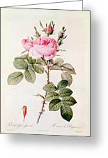 Rosa Bifera Officinalis Greeting Card by Pierre Joseph Redoute