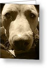 Roscoe Pitbull Eyes Greeting Card by Kym Backland