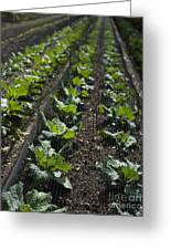 Rows Of Cabbage Greeting Card by Anne Gilbert