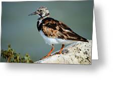 Ruddy Turnstone Greeting Card by Lynda Dawson-Youngclaus