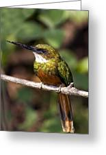 Rufous-tailed Jacamar Male Greeting Card by Tony Camacho
