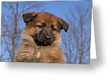 Sable German Shepherd Puppy II Greeting Card by Sandy Keeton