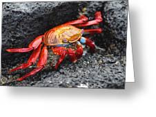 Sally Lightfoot Crab Greeting Card by Alan Lenk