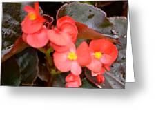 Salmon Begonia Greeting Card by Maria Urso