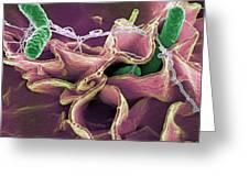 Salmonella Bacteria, Sem Greeting Card by Niaidcdc