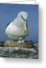 Salvins Albatross Thalassarche Salvini Greeting Card by Tui De Roy