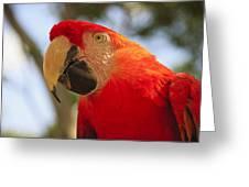 Scarlet Macaw Parrot Greeting Card by Adam Romanowicz