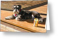 Schnauzer In The Sun Greeting Card by Phyllis Kaltenbach