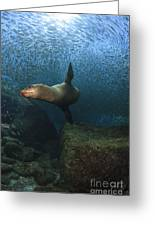 Sea Lion Chasing A School Of Bait Fish Greeting Card by Todd Winner