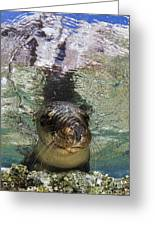 Sea Lion Portrait, Los Islotes, La Paz Greeting Card by Todd Winner