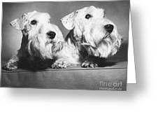 Sealyham Terriers Greeting Card by M E Browning and Photo Researchers