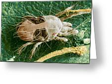 Sem Of Two-spotted Spider Mite Greeting Card by Science Source