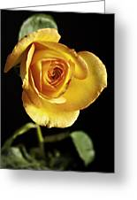 Sharp Yellow Rose On Black Greeting Card by M K  Miller