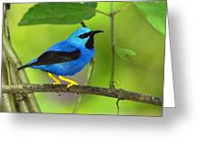 Shining Honeycreeper Greeting Card by Tony Beck