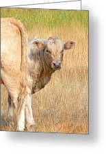 Shy White Calf Greeting Card by Jennie Marie Schell