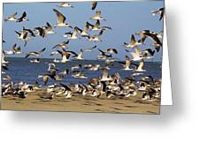 Skimmer Take Off Greeting Card by Paulette Thomas