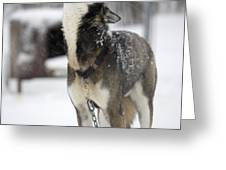 Sled Dog Howling Greeting Card by Pete Ryan