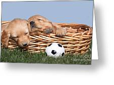 Sleeping Puppies In Basket And Toy Ball Greeting Card by Cindy Singleton