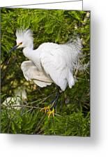 Snowy Egret In Breeding Plumage Greeting Card by Bill Swindaman