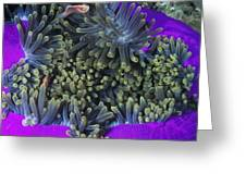 Solomon Islands Amphiprion Perideraion Greeting Card by James Forte