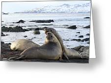 Southern Elephant Seals Sparring Greeting Card by Charlotte Main