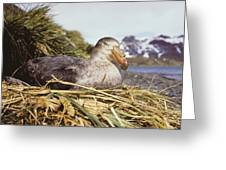Southern Giant Petrel Greeting Card by Peter Scoones